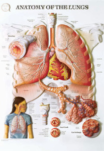 3D해부도(벽걸이)/BS103RR/폐 해부도(ANATOMY OF THE LUNGS)/54cm ⅹ 74cm