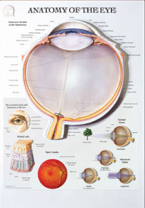 3D해부도(벽걸이)/BS109RR /안구챠트/( ANATOMY OF THE EYE )/ 54cm ⅹ 74cm