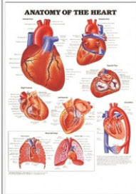 3D해부도(벽걸이)/9878/심장차트 (ANATOMY OF THE HEART)/ 54cm ⅹ 74cm