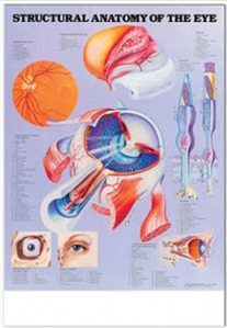 3D해부도( 벽걸이 )/ 9693 /눈의 구조/( STRUCTURAL ANATOMY OF THE EYE )/ 54cm ⅹ 74cm