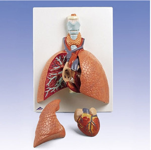 [3B] 5분리 폐모형 VC243 (Lung Model with larynx, 5 part)